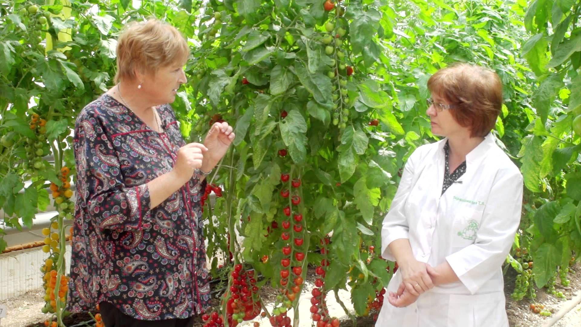 Сорта томатов. Добрый урожай 25