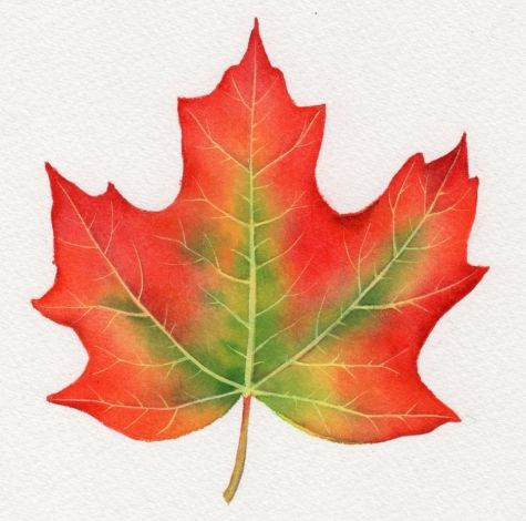 Image detail for -SUGAR MAPLE LEAF watercolor painting by Barbara Fox, original painting ...