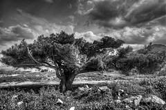 δέντρο στον άνεμο (Σταυρός Α.) Ετικέτες: bw δέντρο φύση blackwhite ελλάδα hdr messinia kyparissia sigma1020 peloponnisos kiparissia ελλαδα nikond90 flickraward φύση πελοπόννησος nikonflickraward silverefexpro μεσέσια κυπαρισσία #ελλαδα