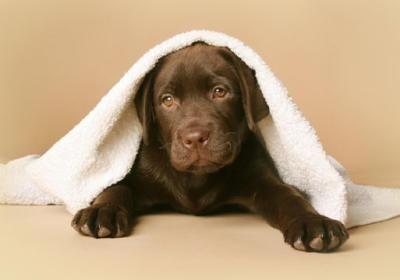 Labrador Welpen Welpen, Hunde, Labrador retriever