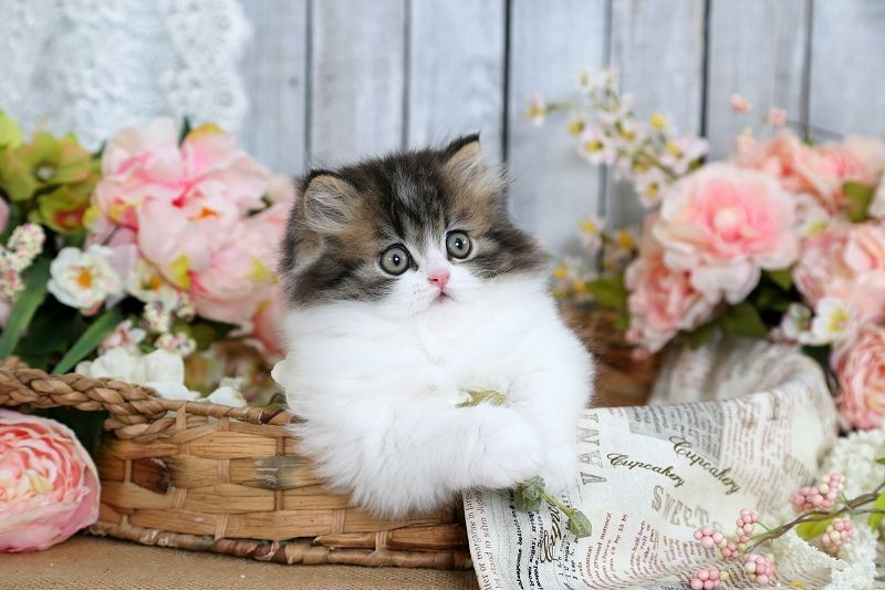 Classic Tabby White Persian Kitten For Sale Kittens Cutest Baby Cats Cute Little Kittens