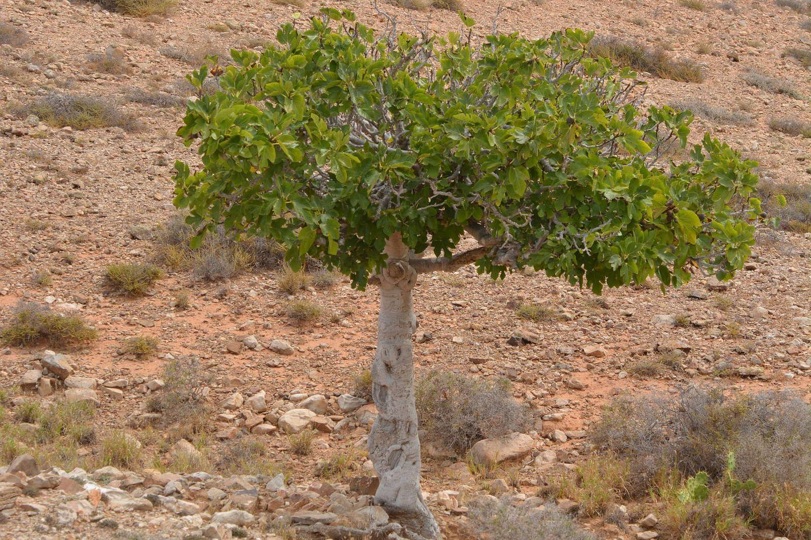 Feigenbaum schneiden Tipps vom Experten Feigenbaum