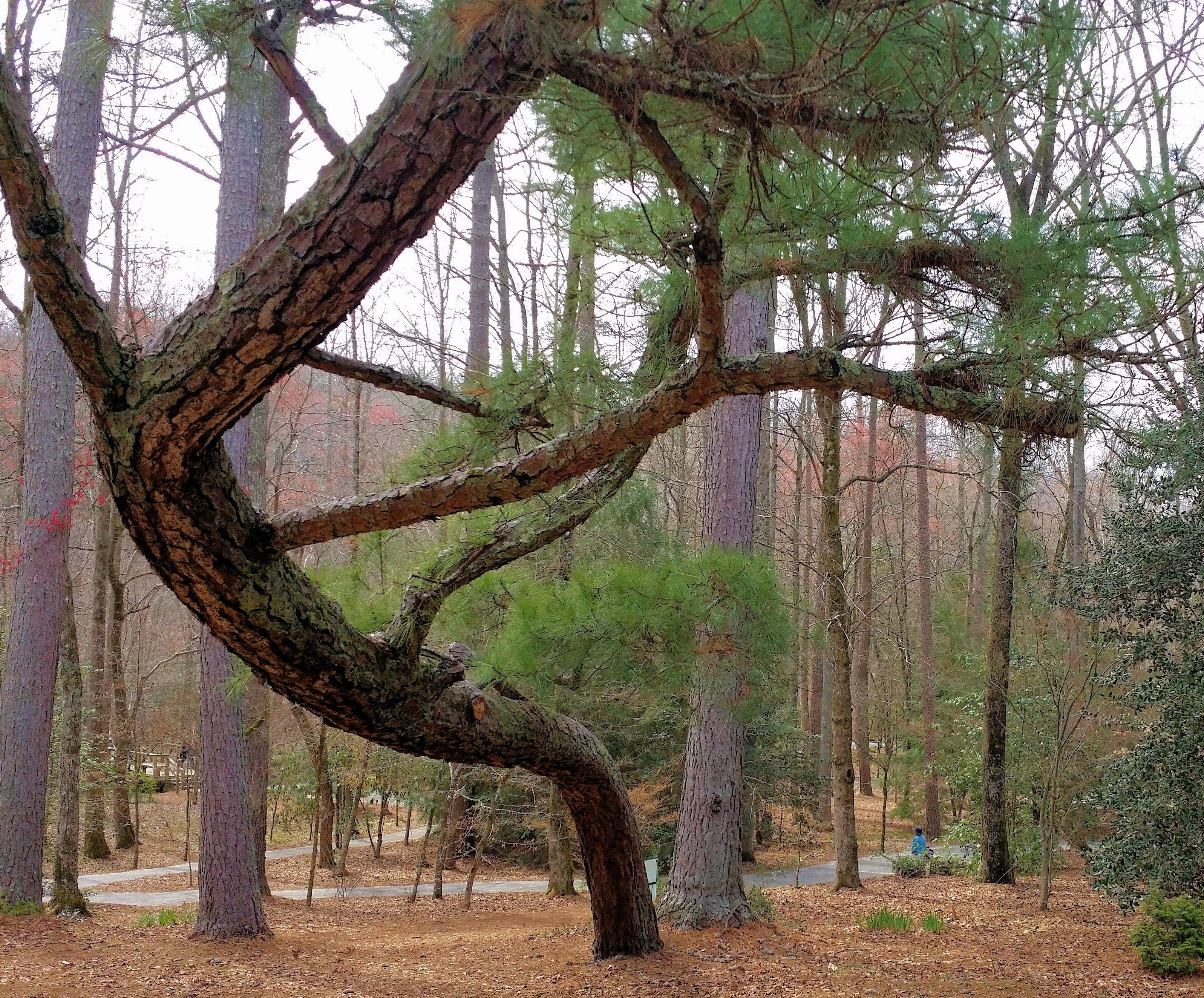 Bowing pine tree in Gibbs Gardens (Mar18 2017). | Gibbs Gardens in ...