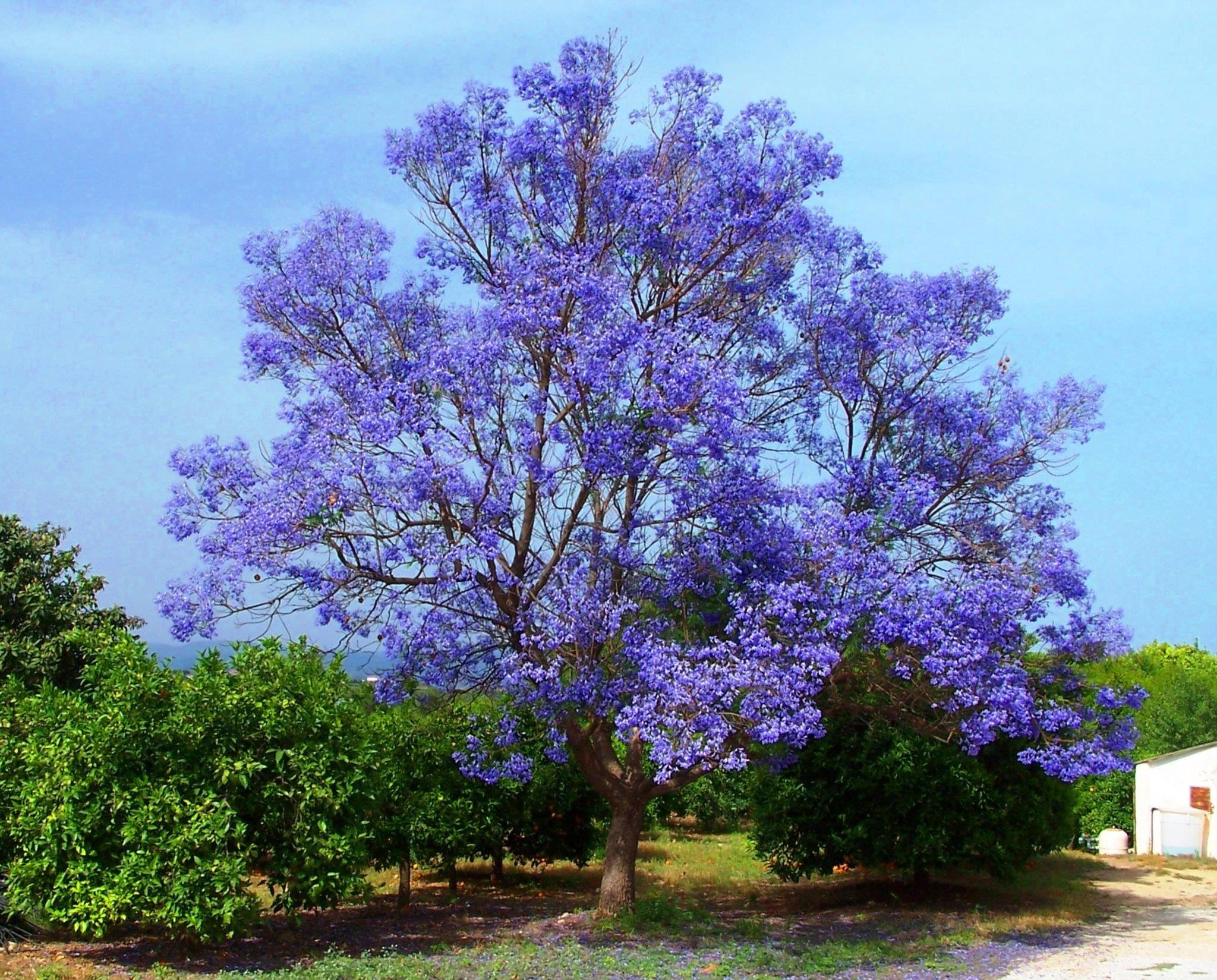 Jacaranda tree native of brazil from our beautiful world blue jacaranda tree 1 of the most popular trees people love to grow because the fern like leaves purple flowers make them look like trees straight fairytale izmirmasajfo
