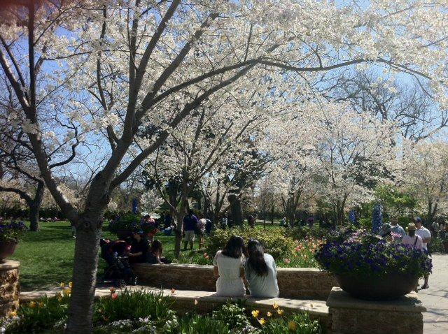 Dallas Arboretum Glorious Cherry Blossoms Dallas Arboretum Arboretum Tree