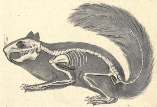 """Skeleton of the squirrel, showing its relation to the body Check out that skull and those teeth - the family Sciuridae is more closely related to beavers, dormice, and porcupines, than they are to your average household rodent, despite looking like """"fancy-dress rats"""". The skull is often a key differentiating factor for comparative zoologists. The design of the inner ear and teeth/jaws can often point to a very different (and much more accurate) classification of a species than ..."""