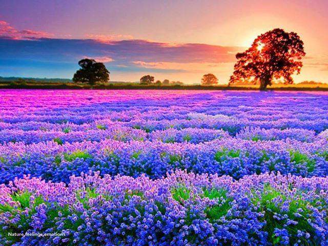 Blue Flowers And Sunrise