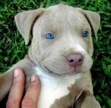 Blue Eyed Pitbull Puppies Cute Small Animals Pitbull Terrier