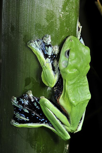 The Norhayati's Flying Frog, Rhacophorus norhayatii (Rhacophoridae), is a medium to large arboreal treefrog with dermal appendages and fully webbed hands and feet
