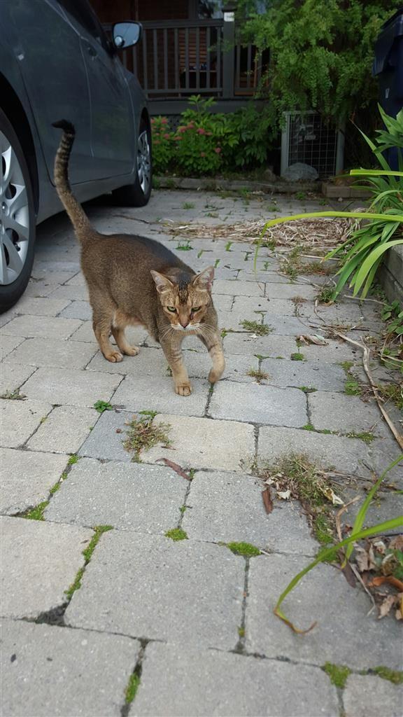 Abyssinian Cat Toronto