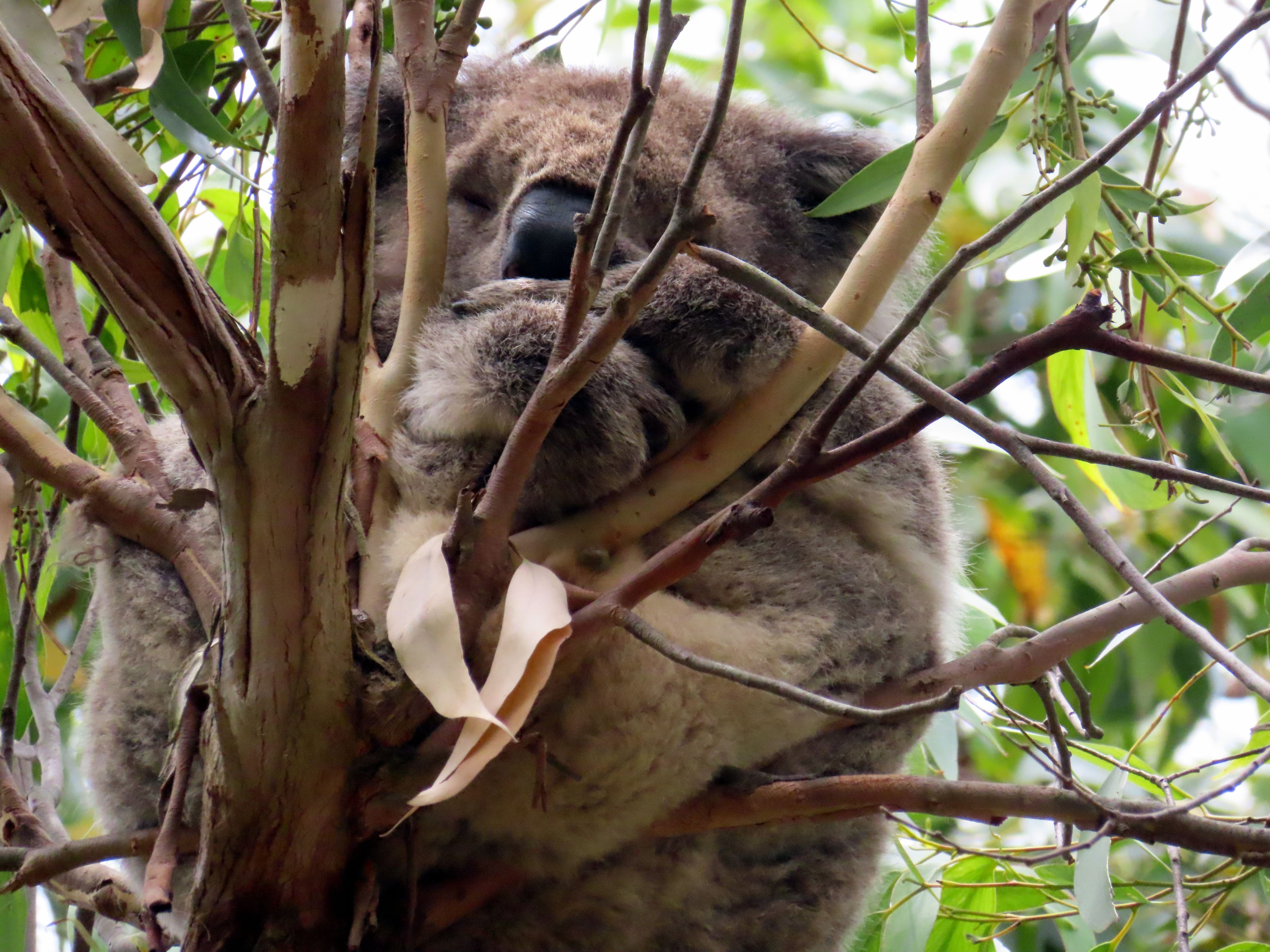 Koala hugging a joey at Cape Otway. A joey is developed in ... - photo#21