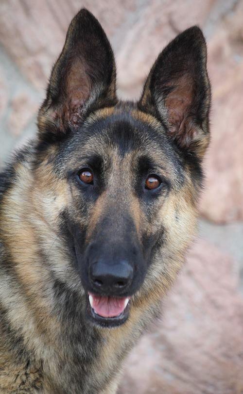 Pin By Bjp On Gsd German Shepherd Rescue German Shepherd Dogs