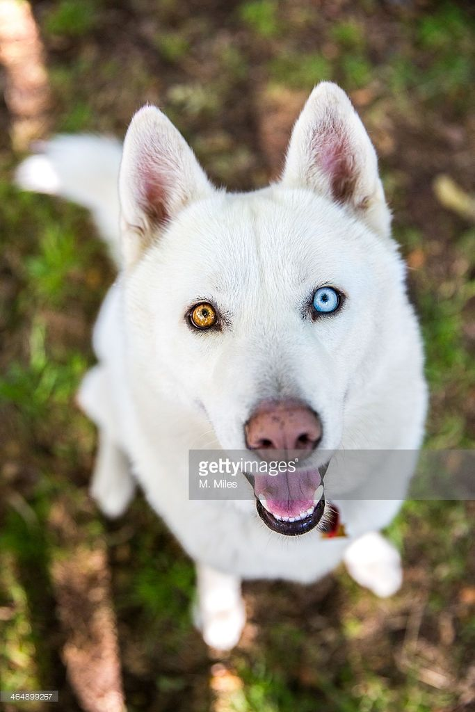 Husky Puppies With Two Different Colored Eyes Google Search I Love The Eyes White Siberian Husky Husky Dogs Siberian Husky Dog