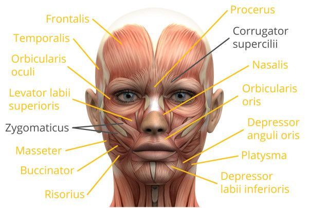 Face Muscles Anatomy Pinterest Muscles Anatomy And Animation