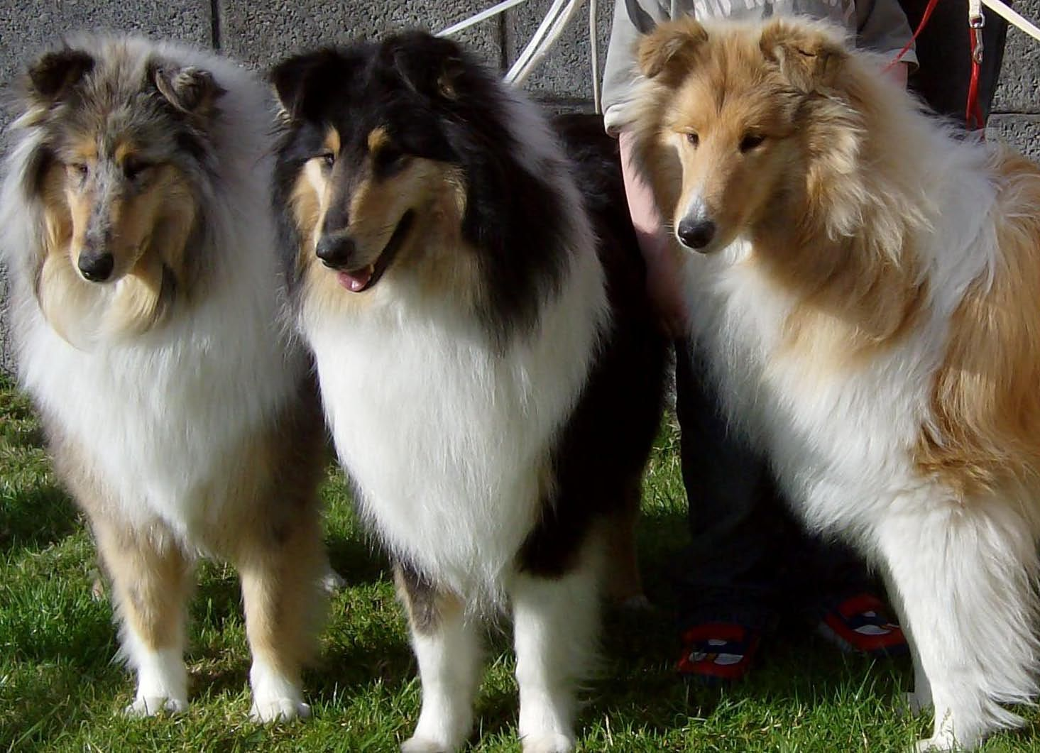 Blue Merle Tricolor And Sable Collies My Old Tricolor Collie