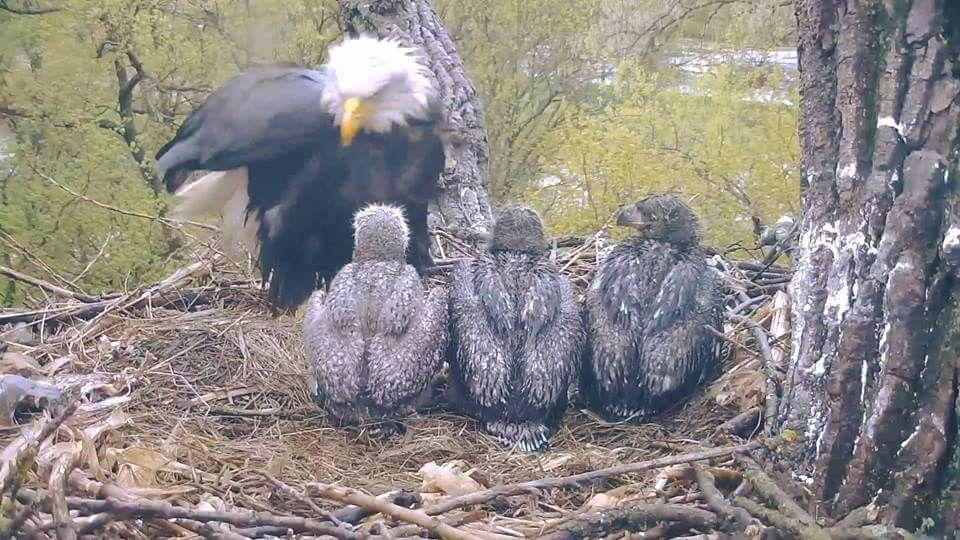 decorah eagles decorah eagles
