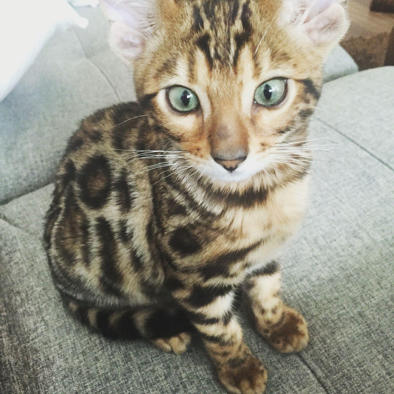 Leopold. Bengal cat 3 months leopoldcat_grr Cats