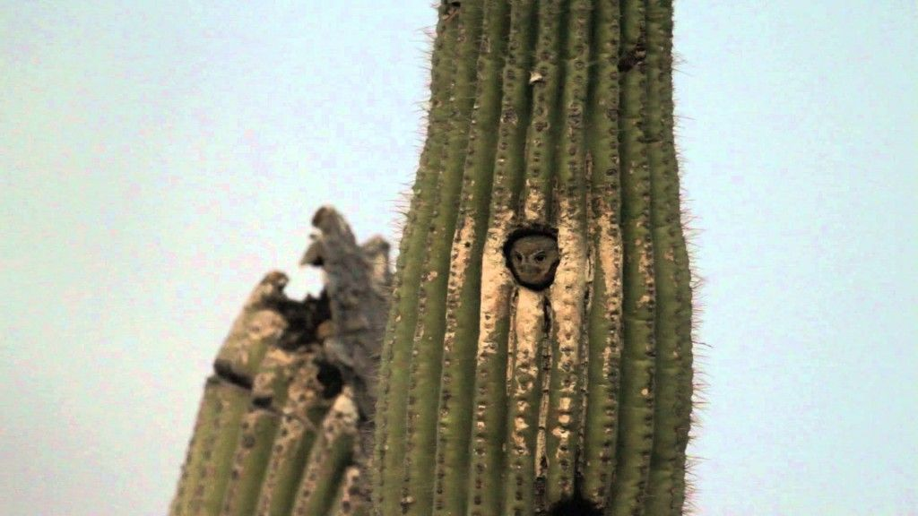 Owls may live in cacti.  Saguaro cacti of the North America's Sonoran Desert are high enough to form a forest comfortable enough for elf owls.