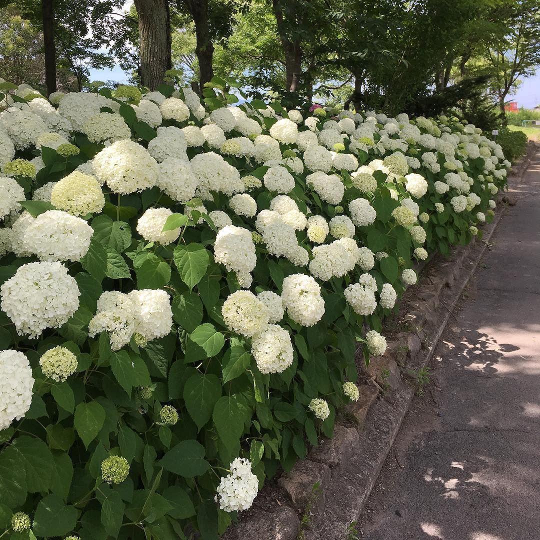 アナベルという品種のアジサイ アジサイ あじさい 紫陽花 Hydrangea アナベル アメリカノリノキ Annabelle Smoothhydrangea Outdoor Decor Instagram Outdoor