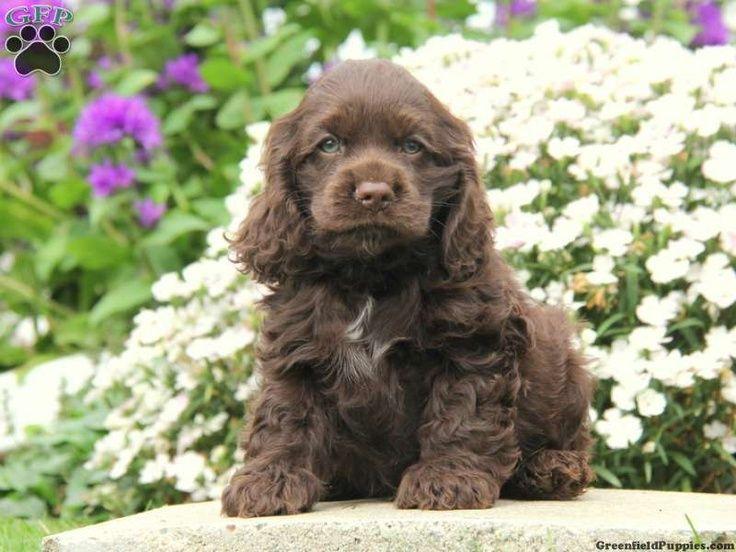Cocker spaniel puppy puppy love pinterest chocolate