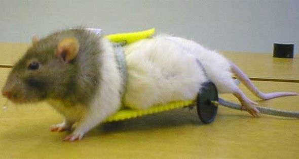 Wheelchairs For Pets And Animals Cute Rats Pet Rats Cute Animals