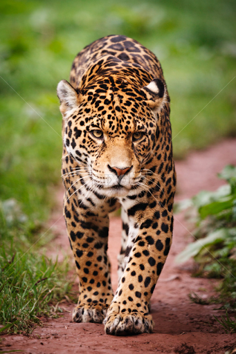 Jaguar animal recherche google jaguer pinterest jaguar jaguar animal recherche google voltagebd Gallery