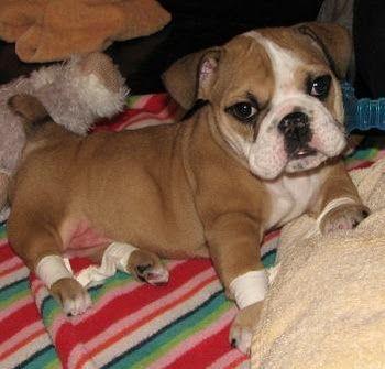 Adele From The Chicago English Bulldog Rescue Bulldog Rescue