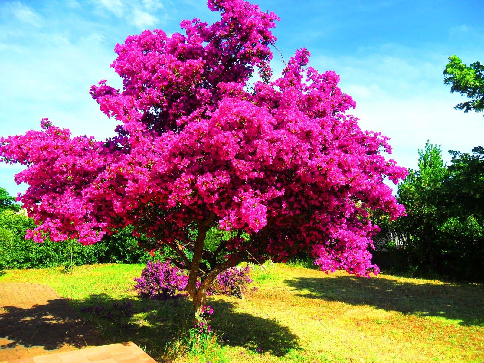 Bougainville Fleur pour bougainvillier … | bougainvillées | pinterest | bougainvillier