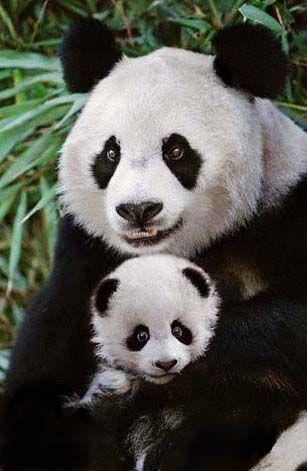 pingl par chantal oudin sur animaux de toute especes baby pinterest b b panda animaux. Black Bedroom Furniture Sets. Home Design Ideas
