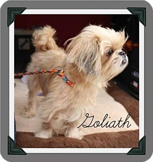 Pin By Kathy Darnell On In Need Of A Home Lhasa Apso Shih Tzu Pets