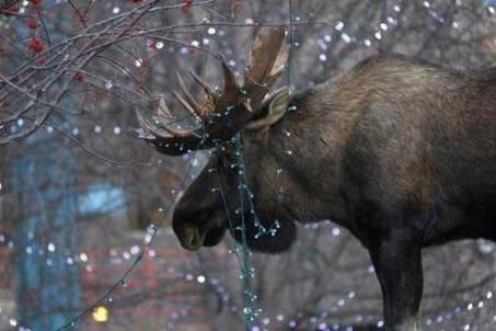 moose v christmas lights this must be alaska oregonlivecom