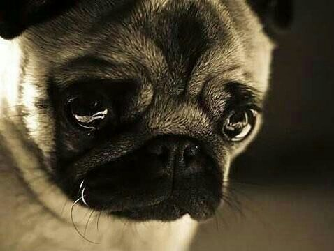 Crying Puppy Loves You Well Pinterest Pugs Puppies And Dogs