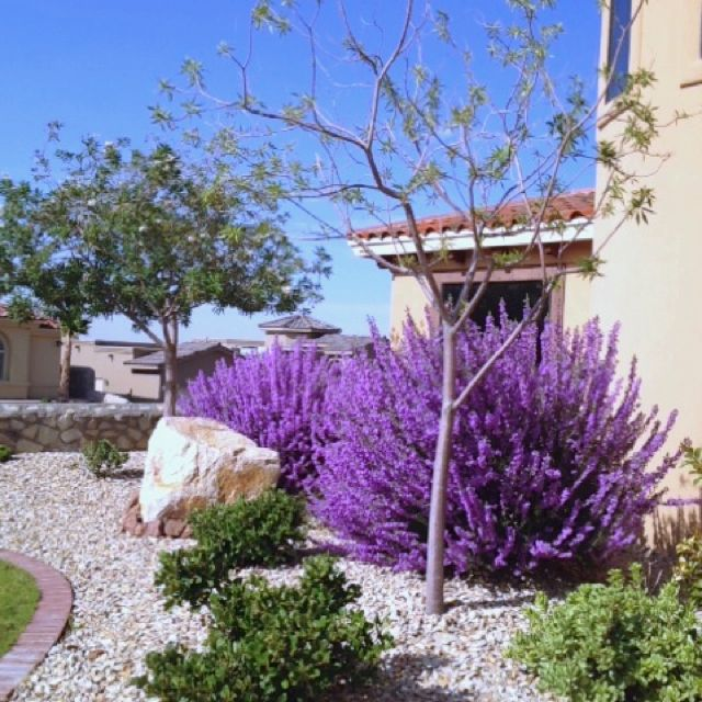 Texas Sage In Bloom #rightsideofthehouse