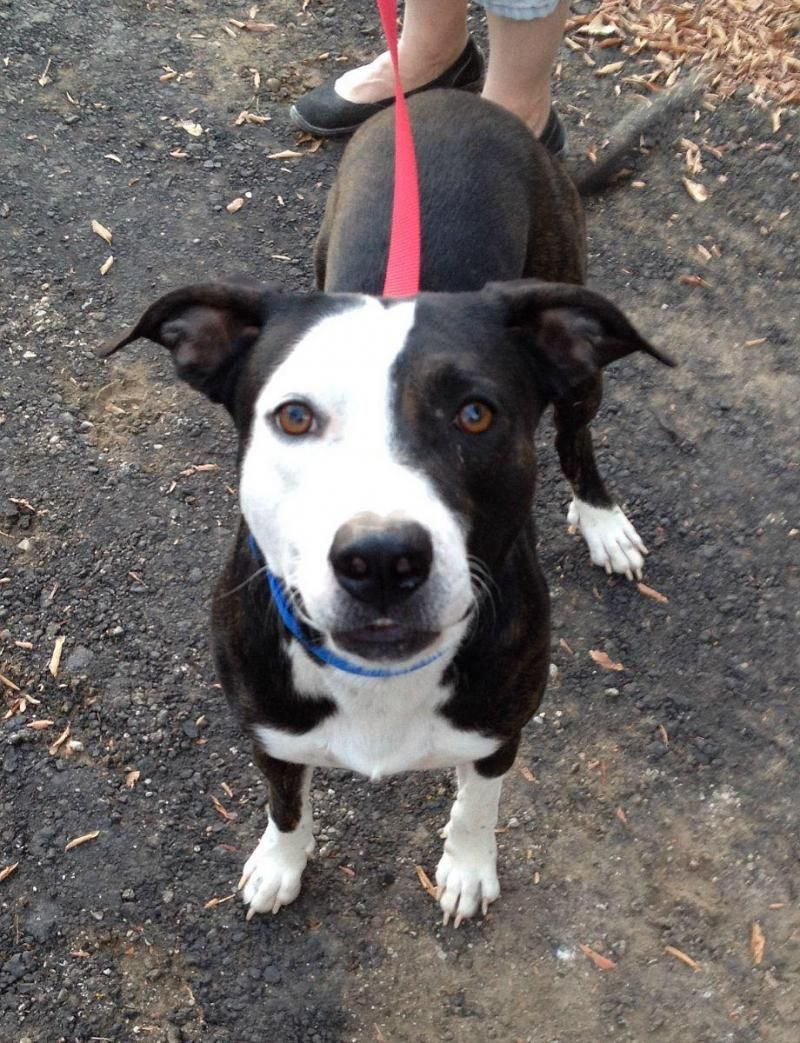 Adopt Max On Pitbull Terrier Labrador Retriever Mix Adoption