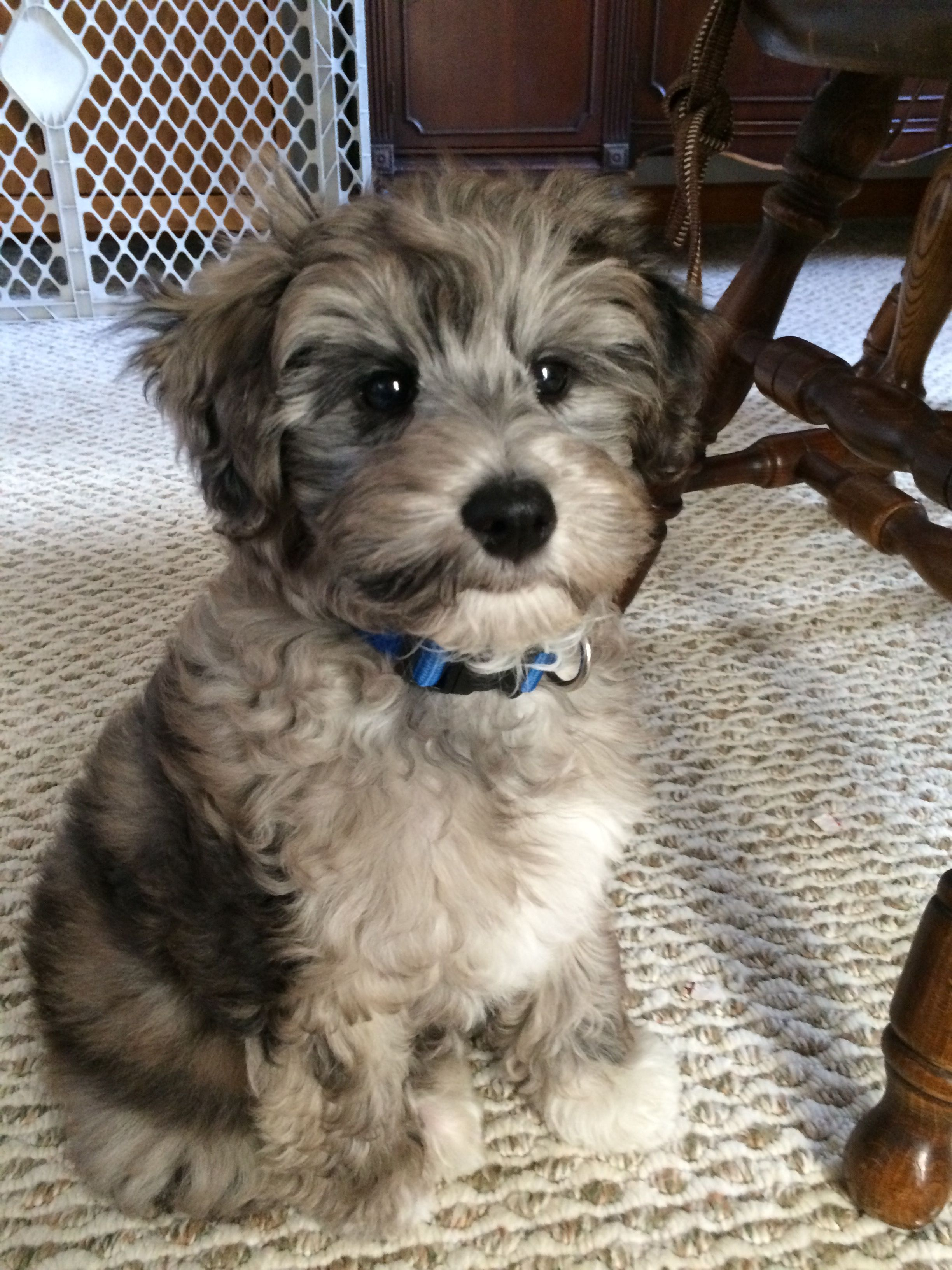 Blue Merle Schnoodle Puppy Hypoallergenic Non Shed