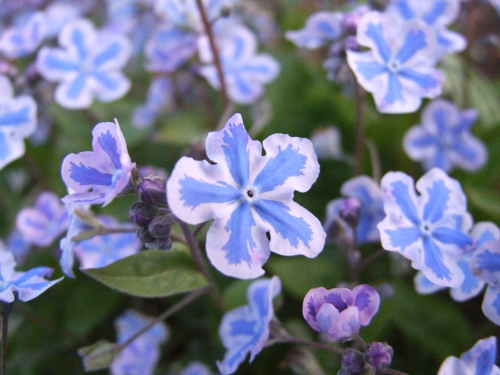 blue flowers names and pictures Omphalodes cappadocia
