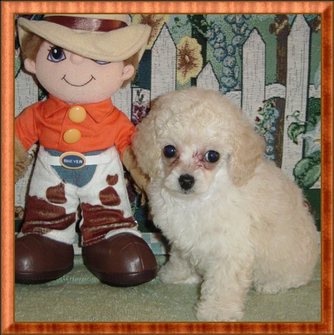 White Teacup Poodle Puppy Female Sold To Polly In Tn By Akc