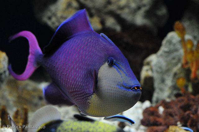 Red Toothed Trigger Fish Saltwater Aquarium Fish Saltwater Fish Tanks Fish