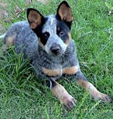 Blue Tick Heelers Google Search Blue Heeler Dogs Heeler