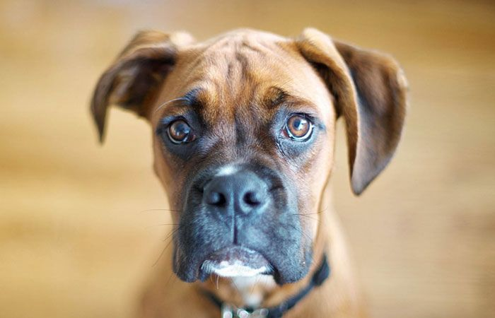 10 Best Dog Foods For Boxers (2020 Guide) Best dogs