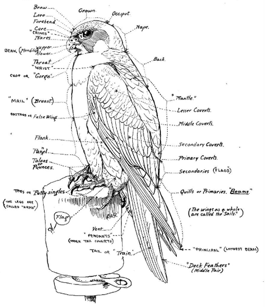 Falconry Anatomy Diagram - DATA Wiring Diagrams •