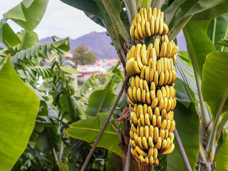 Pianta Di Banana Foto pin on foto