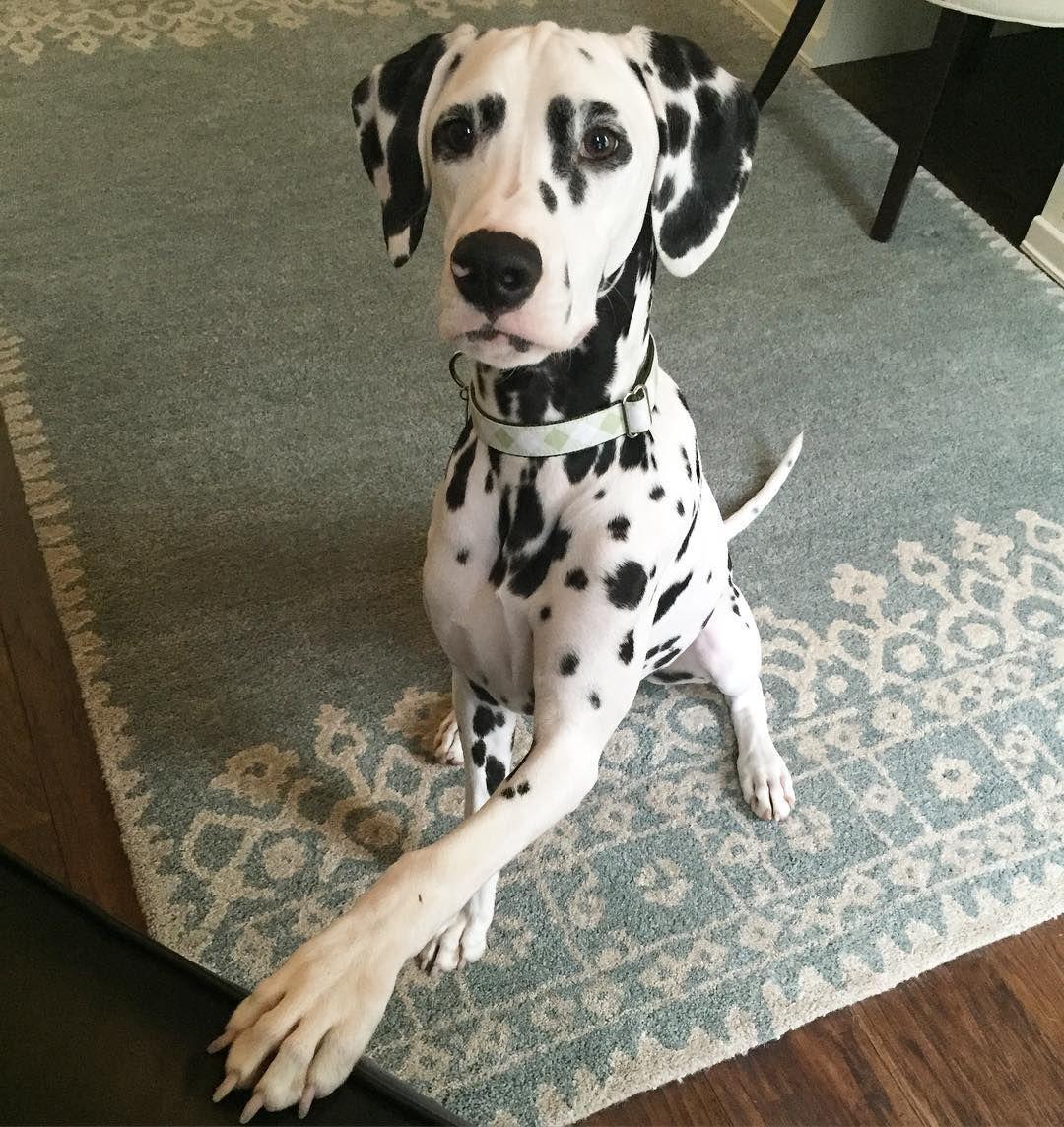 I give paw. You give treat. #giveandtake  #jackson #dalmatian #dalmatianpuppy @dream.n.design #lovemyspots #givepaw #pbpets #lovemypotterybarn by jackson_the_dalmatian #lacyandpaws