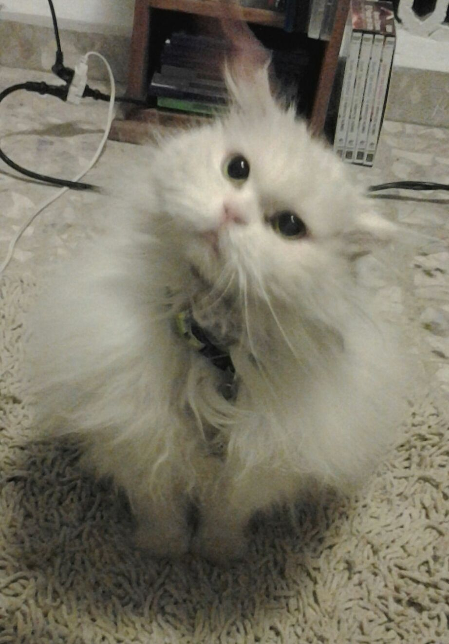Mini Le³n the most beautiful Persian Cat in the world