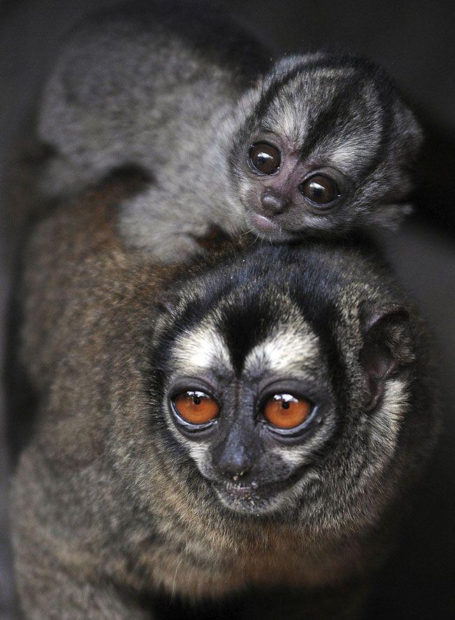 Owl Monkeys Tiere Wild Ausgestopftes Tier Susseste Haustiere