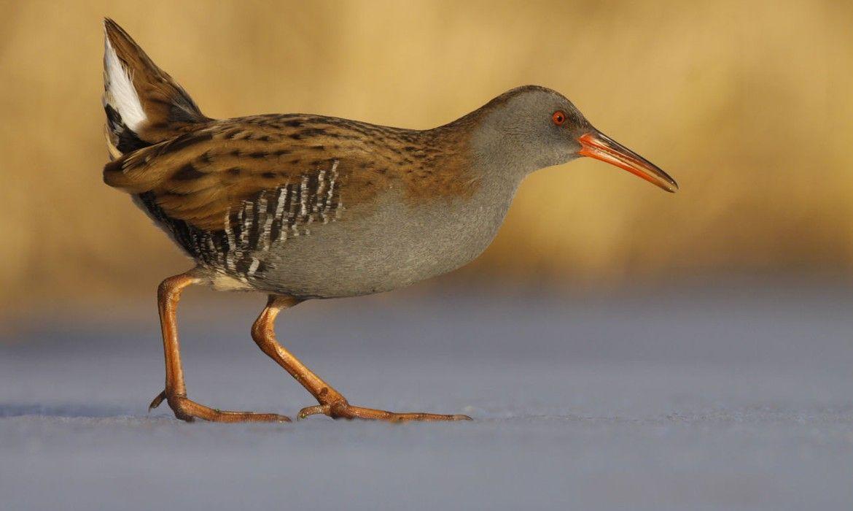 Waterral | Vogelbescherming.nl