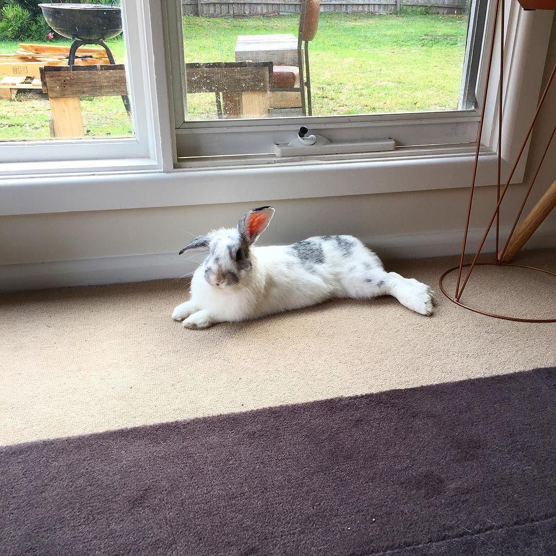 Morning everybunny!!! #rabbits #randomear #rabbitsofinstagram #rabbitsworldwide #picoftheday #photooftheday #igdaily #instagood #instamood #instabunny #biscuit #bunnys #bunny #bun #bro #bunnycalledbiscuit #bunnylife #bunnygram #bunnyears #bunnylove #bunnyrabbit #bunnyoftheday #bunnyofinstagram #rabbitsofig #rabbitoftheday by bunnycalledbiscuit