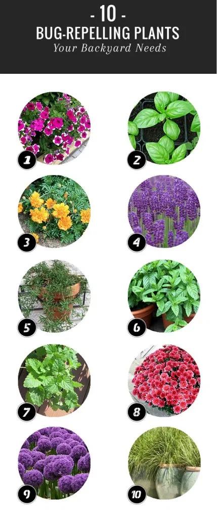 10 Bug Repelling Plants Plants that repel bugs, Plants
