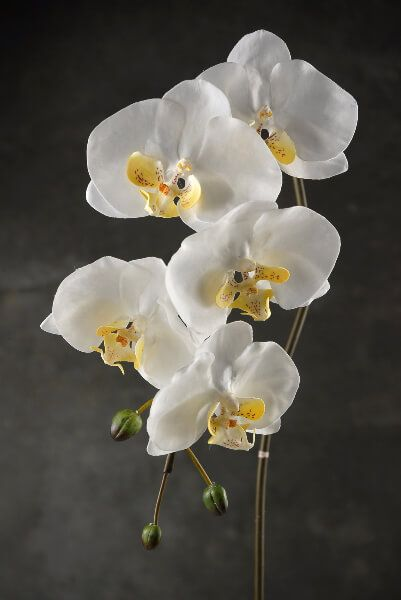 Botanicals Orchids Orchid Photography Flowers For Sale