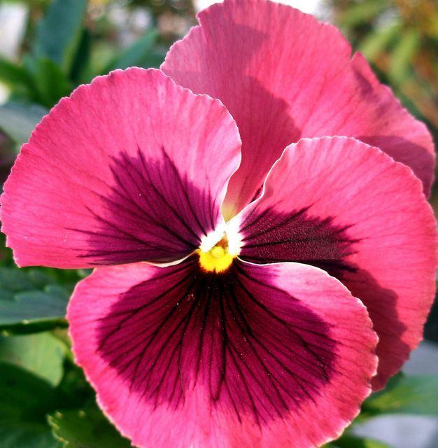 Pink Pansy Pansies Flowers Flowers Pansies